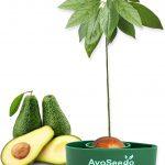 AvoSeedo | Anbau von eigenen Bio-Avocados